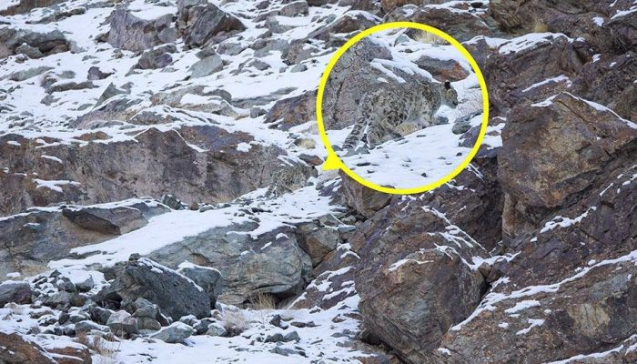 A snow leopard is seen, highlighted and magnified in yellow, camouflaged against a mountain near the Indian Himalayas - Can You Spot the Snow Leopards in These Photos;